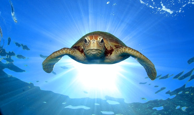 Turtle from the great barrier reef